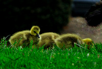 Branta canadensis Canadian geese chicks